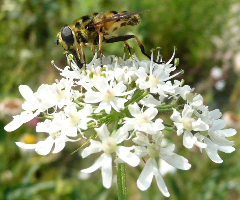 syrphe myathropa florea berce