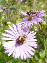 Bombus pascuorum + Syrphe Helophilus Aster