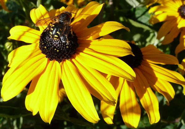 Anthidium Rudbeckia